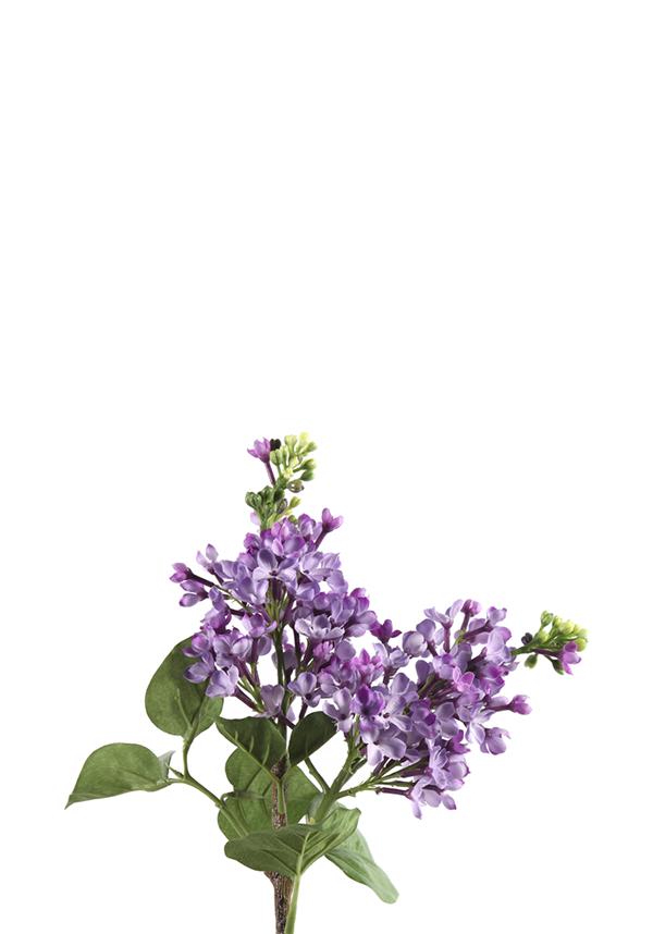Sering Lavendel