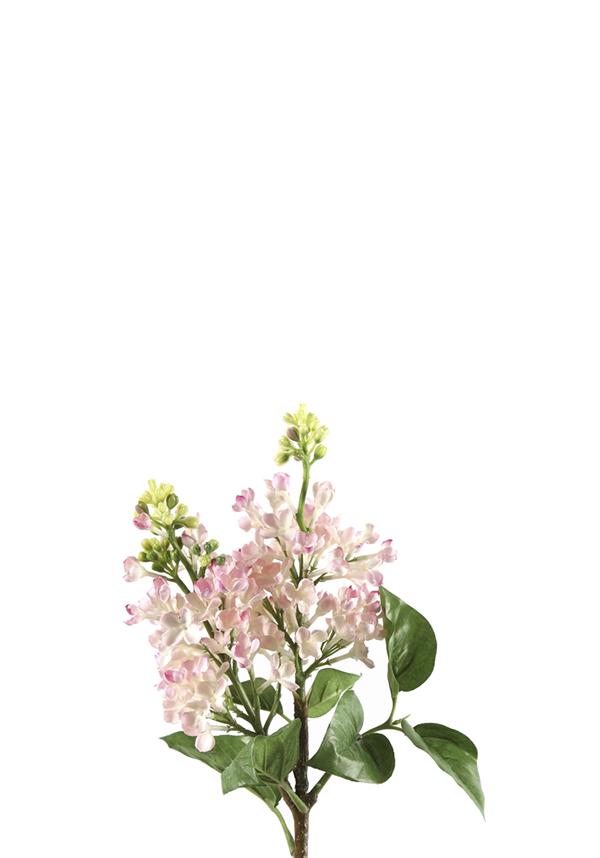 VIburnum roze