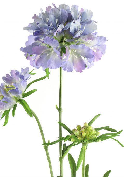 Scabiosa lila