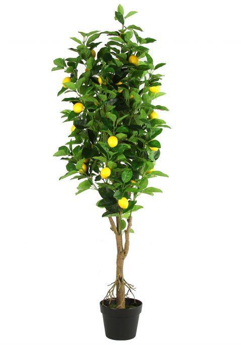 Citroenboom H130cm